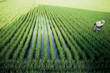 每亩用量0.76公斤日本农作物被指在农药里泡大